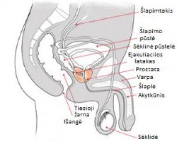 kas lemia erekcijos kietumą varpos padidėjimas maks