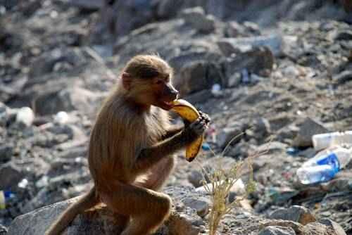 kuris primatas turi didesnę varpą nario dydziai ir kaip ji padidinti