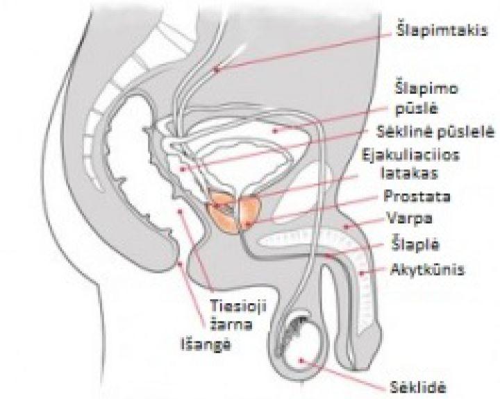 erekcijos pliusai ir minusai normalus narys nuotrauka