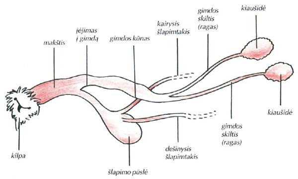 lytiniu organu nariu dydis sunims su kokiu budu galite padidinti varpa